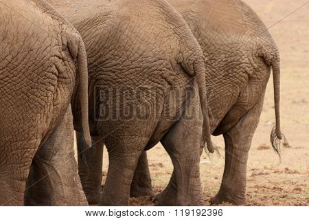 Rear View of African Elephants