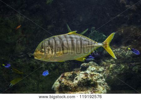 Golden Trevally fish