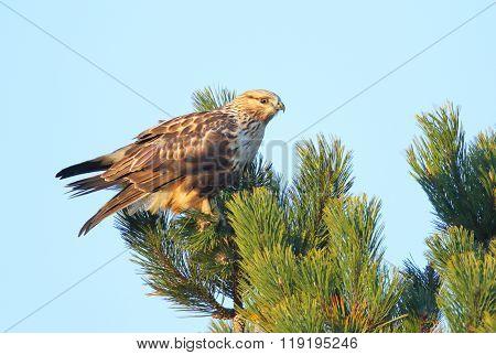Rough-legged Hawk perched on a tree, British Columbia, Canada