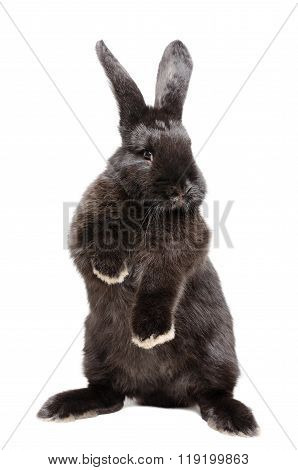 Portrait of a funny black rabbit standing on his hind legs