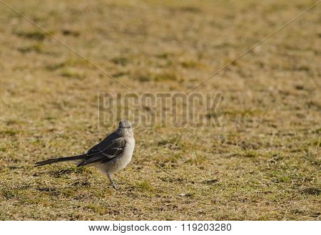 Mockingbird On Grass