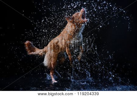 Dog Nova Scotia Duck Tolling Retriever, Dogs Play, Jump, Run, Move In Water