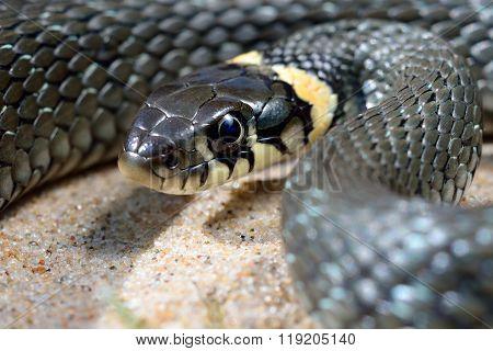 Common grass snake (Natrix natrix) close-up. Black snake with shiny scales.