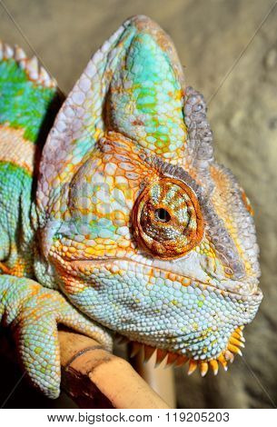 Colourful tropical chameleon head close-up in a terrarium.