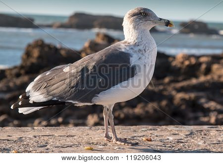 Seagull And The Ocean