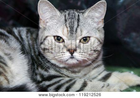 kitten Scottish Straight stripy