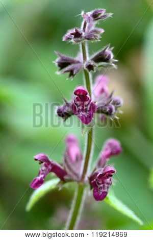 Hedge woundwort (Stachys sylvatica)