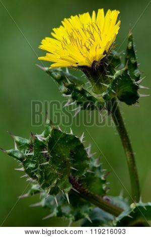 Bristly oxtongue (Picris echioides)