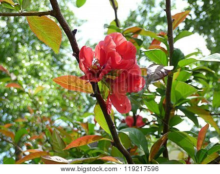Closeup Of Japanese Quince Blooming In Spring