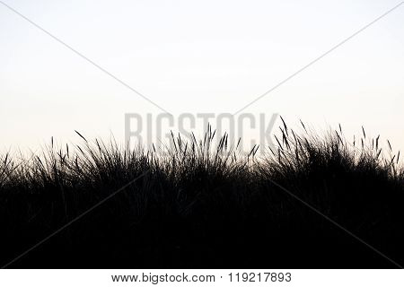 Silhouette Of Marram Grass With White Background