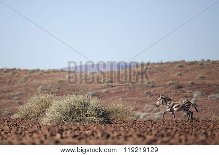 A Zebra in the Palmwag concession, Namibia.