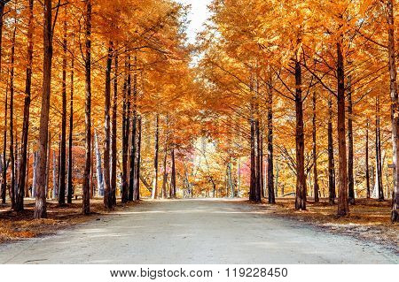 Autumn Trees In Nami Island, Korea.