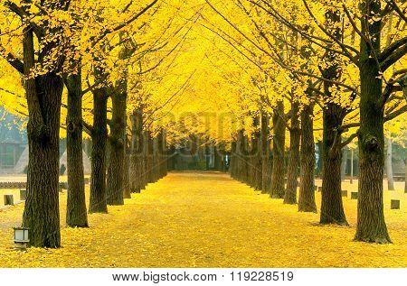 Row of yellow ginkgo tree in Nami Island ,Korea.