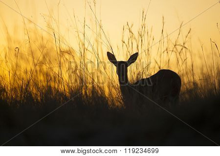Reed buck standing in tall grass in Botswana