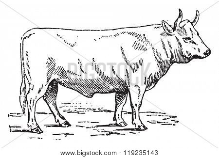 Charolais ox, vintage engraved illustration. Dictionary of words and things - Larive and Fleury - 1895.