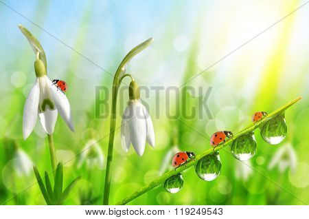 Snowdrop flowers with dewy grass and ladybugs on natural bokeh background. Spring season.
