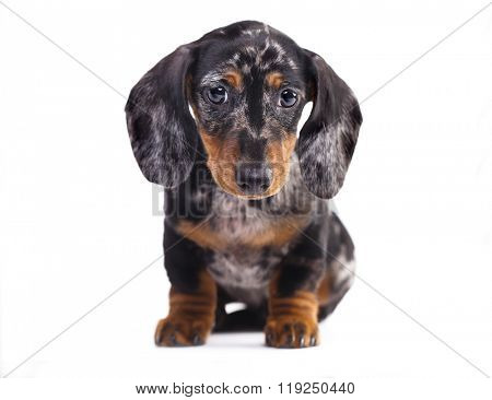 Dachshund puppy marble color