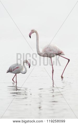 A flamingo wades in the water of Walvis Bay wetland
