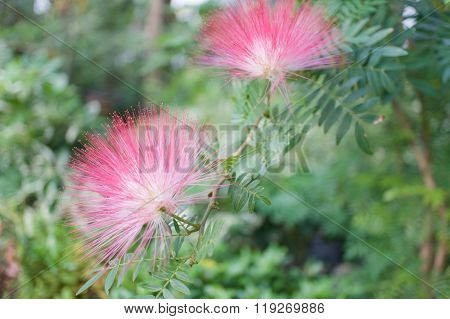 Calliandra Haematocephala Hassk Or Pink Red Powderpuff With Green Leaves