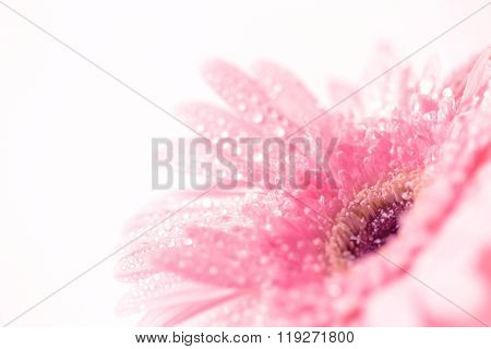 Close Up And Selective Focus Of Sweet Pink  Gerbera Flower With Water Droplet, Romantic And Fresh Mo