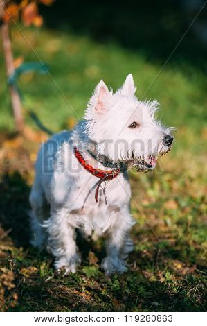 West Highland White Terrier - Westie, Westy Dog Outdoors.