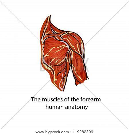 A Structure Of Muscles Of The Shoulder