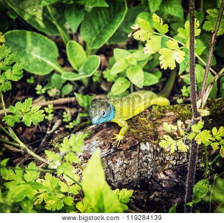 European Green Lizard Is Basking On The Wood