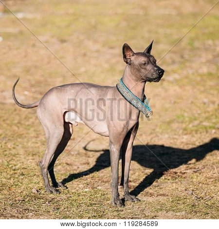 Mexican Hairless Dog  Xoloitzcuintli or Xolo