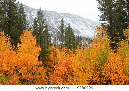 Snow covered mountains and Aspen trees in Sierra Nevada mountains