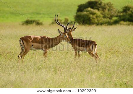 Male Thomson's Gazelle In Masai Mara, Kenya