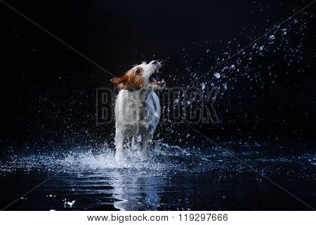 Dog JacDogs Play, Jump, Runk Russell Terrier, Move In Water