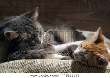 Domestic cats are sleeping comfortably. Big gray cat and the little kitten white with red. Cozy, warm, comfortable. Cats are happy, they love each other. Family cats poster