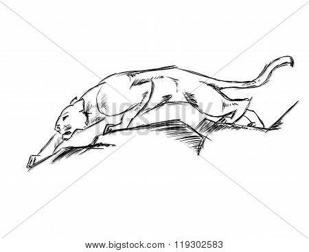 Young Cougar Prepares To Jump. Sketch.