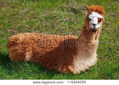 Lama resting on the grass