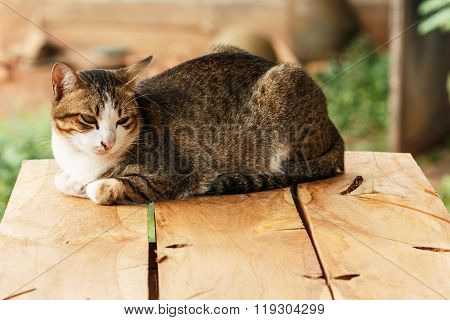 Thai Cat  On A Wooden Board.