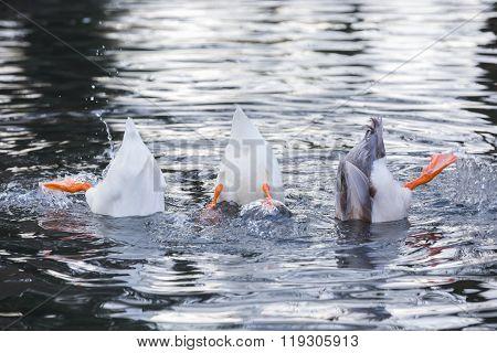 Three ducks upside down
