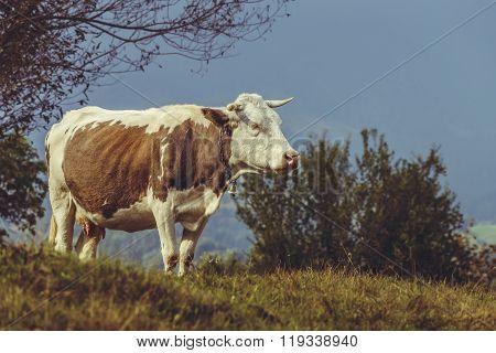 Brown Dutch Breed Cow