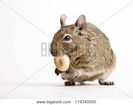 Rodent With Crisp