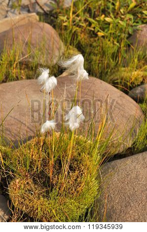 Cottongrass Is A Plant Of Taimyr.