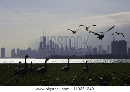 Flock of goose takes off from Montrose Harbor, Chicago.