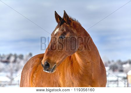 Horse With Snow On Nose