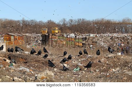 A Flock Of Black Crows On A City Garbage Dump