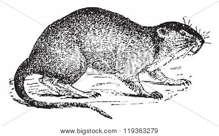 Vole or water rat, vintage engraved illustration. Dictionary of words and things - Larive and Fleury - 1895.