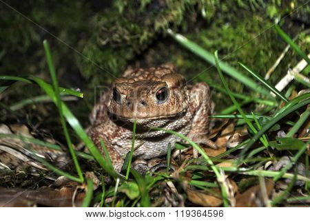 Big forest toad