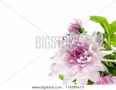 Pink Chrysanthemum In Corner Of White Background