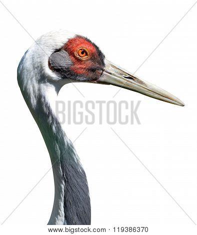 The White-naped crane (Grus vipio)