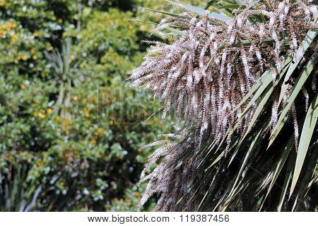 Cabbage Tree In Flower