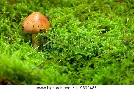 Young Boletus On Green Moss Background