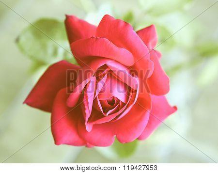 Retro Looking Rose Picture