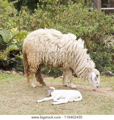 Baby Sheep And Mother Sheep